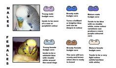 Sexing Parakeets | scotty boy last edited by shammysheldon 02 01 2012 at