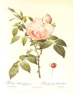 Redouté, Rosa_indica_fragrans_1000px Redouté