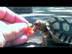 Baby tortoise eating a tomato.