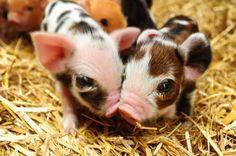 Double piggy