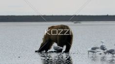 seagulls and brown bear in alaska. - Video of seagulls and brown bear searching for clams.