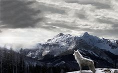 Mountains Gray Wolf Wallpapers - http://www.0wallpapers.com/1778-mountains-gray-wolf-wallpapers.html
