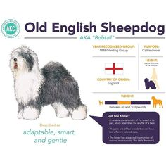 Why do you love the Old English Sheepdog?