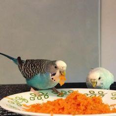 Parakeet Care, Budgie Parakeet, Parakeets, Diy Budgie Toys, Diy Bird Toys, Baby Animal Videos, Funny Animal Videos, Funny Birds, Cute Birds