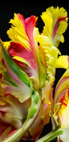 Flaming Parrot Tulips © 2016 Patty Hankins