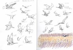 Marsh and Montague's Harriers, and a brief Bittern from Bittern Hide Sketch by Artist Richard Allen