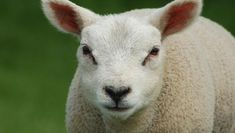 Sheep have very good memories. They can remember at least 50 individual sheep and humans for years. Facts About Sheep, Funny Sheep, Barnyard Animals, Happy Chinese New Year, Best Memories, Goats, Fun Facts, Photo And Video, Amazing Facts