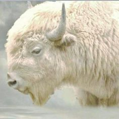 The Sacred White Buffalo