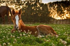 Foal in clover at Sunset