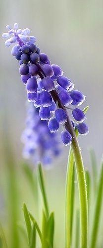 ~~Muscari - Grape Hyacinth~~