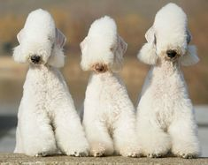bedlington | Bedlington Terrier. Everything you want to know about this weird dog ...