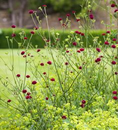 Buy Knautia macedonica from Sarah Raven: The scabious-like Knautia macedonica flowers as long & hard as almost any plant in my garden & the bees & butterflies LOVE them. Biennial Plants, Plant Delivery, Herbaceous Border, Home Flowers, Types Of Soil, Plant Design, Back Gardens, Colorful Pictures, Garden Inspiration