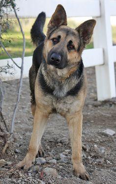 Looks like this German Shepherd is ready to GO!