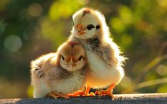 Chicks are some of the cutest baby animals on the farm, though most people think of chickens as being cute Tier Wallpaper, Animal Wallpaper, Baby Wallpaper, Wallpaper Pictures, Puppies Wallpaper, Iphone Wallpaper, Cute Baby Animals, Farm Animals, Wild Animals