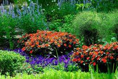 Compact Electric Orange SunPatiens, King Tut papyrus, Blue Wave Petunias, Blue Fortune anise hyssop-June 24