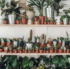 Shelving with Tons of Succulents, Cacti and Potted Palm Plants