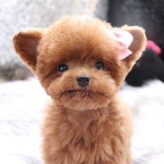 """5,308 kedvelés, 70 hozzászólás – Teddy Bear SHU familly (@bibi_shasha) Instagram-hozzászólása: """". 슈는지금 털도찌우고 살도찌우는중이예요  . . . #Shu #슈 #TeddySHU #Teddybear #poodle #toypoodle #teacuppoodle…"""""""