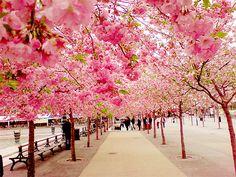 Spring blossoms~~