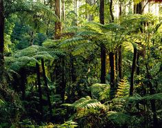 Sherbrooke Forest in Dandenong Ranges National Park - Melbourne