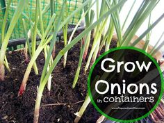 I'm looking for ways to maximize the growing space in my small garden. I'm going to grow onions in containers so I can use the cut and come again method.