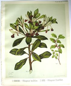 Sarah Featon, Tarata - Sara FEATON  Hand-coloured engravings from The Art Album of New Zealand Flora, 1889. It contained descriptions of the native flowering plants of New Zealand and the adjacent islands.