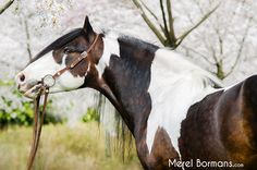 Stunning! Most Beautiful Animals, Majestic Animals, Beautiful Creatures, Horse Photos, Horse Pictures, Caballo Tobiano, Cheval Pie, All The Pretty Horses, Draft Horses