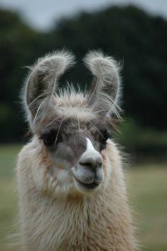 beautiful llama...........#hiphop #beats updated daily => http://www.beatzbylekz.ca
