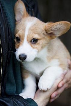 Who knew that corgi puppies were so cute?