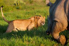 Rhino 1 - Lion 0