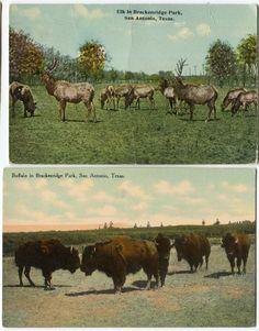 2 1910 Era Buffalo Elk Brackenridge Park San Antonio Texas Postcards | eBay