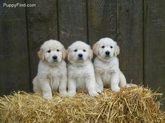 #Golden #Retreiver Puppies