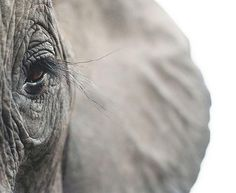 Elefant Eye - Pixdaus