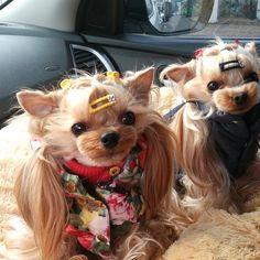 #구찌 #에찌 #Yorkshireterrier #yorkie #dogstagram #요크셔 #요키 #pet #puppy #dog #instadog #독스타그램 #멍스타그램 스위트몽 놀러가고 있어요^^ 장거리 여행엔 아페토가 짱~~