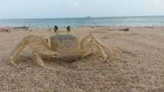 cangrejo-crab13