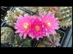 Entrevista a la dirección del Jardín Botánico de Cactus y Otras Suculent...