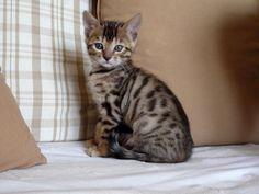 Kitty Bengal - chats Bengals - description de notre élevage, prix des chatons, caractère
