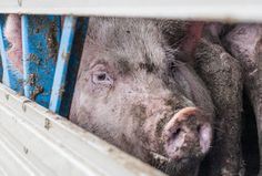 Watch the powerful new undercover footage that Australian pig slaughterhouses don't want you to see