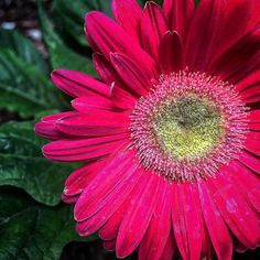 Gerbera Daisy #gerbera #flowers #daisy #nature #plants #garden #gardenersnotebook #outdoors