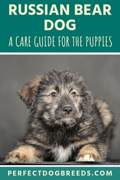Just like other large aggressive dogs, it's important to start training Russian Bear Dog puppies as soon as you bring them home. Read on to learn why it can be difficult to train them once they grow older. Large Dog Breeds, Large Dogs, Pet Dogs, Dog Cat, Pets, Russian Bear Dog, Cute Puppies, Dogs And Puppies, Guard Dog Breeds