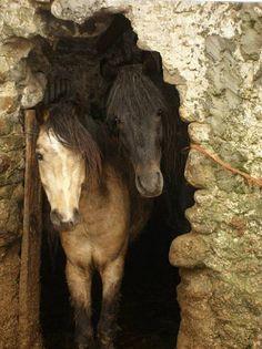 pagewoman: Connemara Ponies Ireland by Alison Jackson