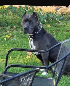 American Pitbull, Bullies, Pitbull Terrier, Pitbulls, Dogs, Animals, Animales, Pit Bulls, Animaux