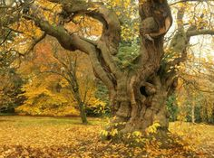 Beautiful Sweet Chestnut tree at Sheffield Park and Garden - The perfect place to explore for a bit of autumn colour! ... Photo from The National Trust Facebook Page