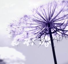 Lilac Rays- Minimalist Fine Art Photography, Purple, Lilac, Lavender,  Home Decor, Soft, Ethereal, Queen Anns Lace, on Etsy, $25.00