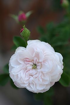 Alba Rose: Rosa 'Madame Legras de St. Germain' (origin unknown, before 1848)