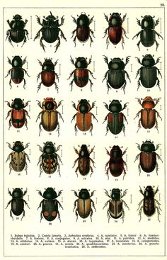 BEETLES OF RUSSIA as described by G.G. Yakobson (1905-1915).