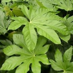 Fatsia japonica Japonica, Wild Plants, Japanese Garden, Paper Plants, Plants, Garden Plants, Fatsia Japonica, Plant Leaves, Garden