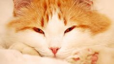 Wallpapers Anime Gato De Pantalla Del Gatos Rojos Suaves Foto Los 1366x768 | #267128 #anime gato