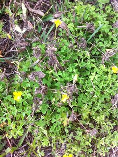 Yellow Woodsorrel (oxalis stricta): This plant appears to be woodsorrel with clover-like foliage and yellow or pink flowers with five petals. Spreads by seed and many consider it a weed. Also called sourgrass and the flowers close up at night and open in the daytime.