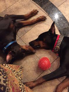 Duke & Roxy, my Black and Red babies! #dobermanpinscher