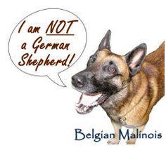 animal planet belgian malinois - Google Search